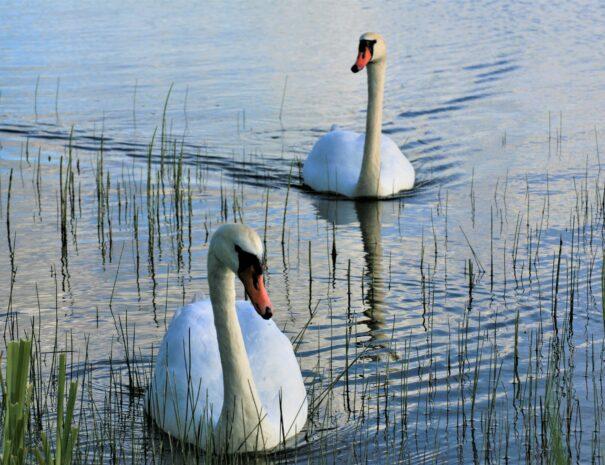 jezioro-sominy-kaszuby-atrakcje-trzebuniowa-darga-labedzie