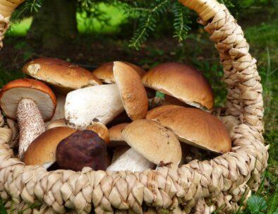 grzyby na kaszubach grzybobranie w kaszubskich lasach